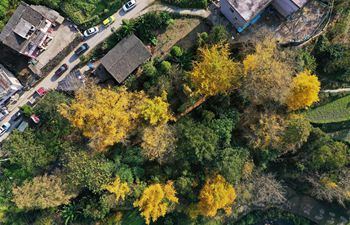 Scenery of ginkgo trees in Huanglian Village in Guiyang, SW China