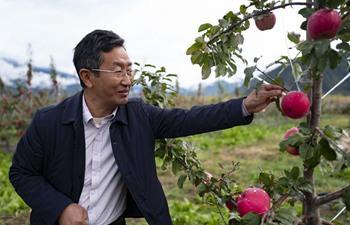 Pic story of apple cultivation professor Xie Hongjiang