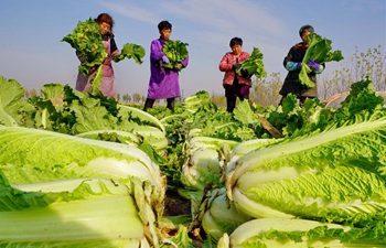 Vegetable growing promoted to boost farmers' income in north China's Hebei