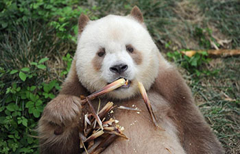 World's only captive brown giant panda adopted