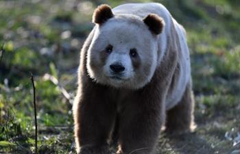 Rare brown and white giant panda Qizai seen at Qinling research base in Xi'an