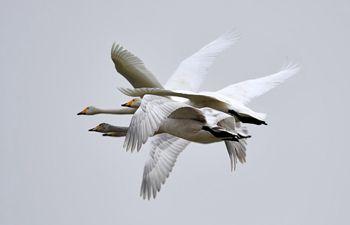 Wild swans seen at wetland in Pinglu, China's Shanxi