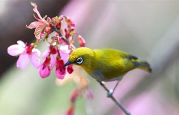 In pics: white-eye on branch of cherry tree in Guiyang