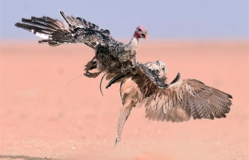 Falcon hunting show held in Kuwait