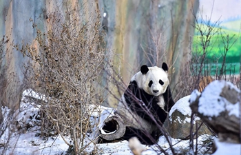 Giant pandas play in snow at Xining Panda House in NW China