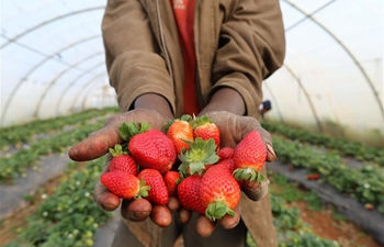 Workers harvest strawberries in farm in Algeria