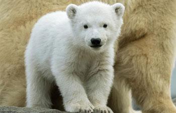 Polar bear baby seen at Schonbrunn Zoo in Vienna