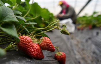 Farmers pick strawberries in Xinjiang