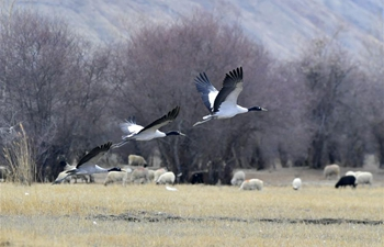 Black-necked cranes seen at national wetland park in Xigaze, Tibet