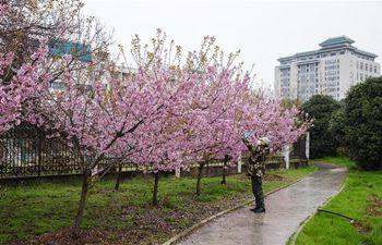 Cherry blossoms seen at Wuhan University, Hubei