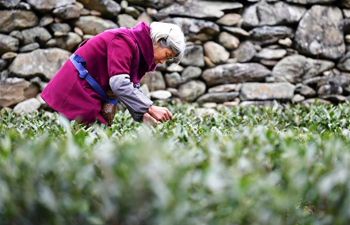 Farmers busy picking tea leaves as weather turns warmer in NW China