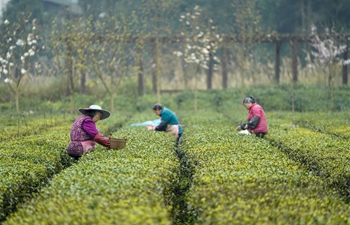 Farmers pick spring tea leaves with prevention measures