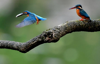 Kingfishers spotted at park in Fuzhou