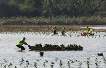 Workers plant Mangrove trees in Haikou