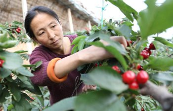 Farmers restore planting, nursing of cherry trees to minimize economic losses in Liaoning