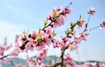 In pics: peach blossoms in Jinan