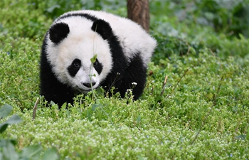 In pics: giant pandas in Shaanxi