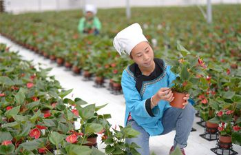 150,000 anthurium potted plants in Guizhou enter market to boost people's income