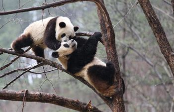 """Giant pandas """"Lulu"""" and """"Xiaoxin"""" frolic on tree at Foping Nature Reserve, Shaanxi"""