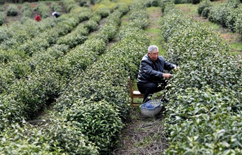 Farmers busy with picking and processing of tea leaves
