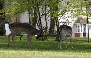 Deer appear at residential areas of London during coronavirus lockdown