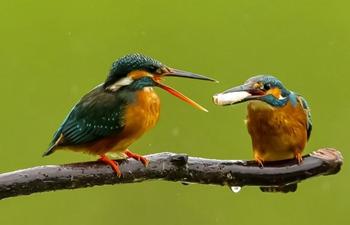 In pics: kingfishers in Xindian Town, Fuzhou