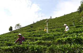 Lingyun County develops tea industry to boost locals' incomes