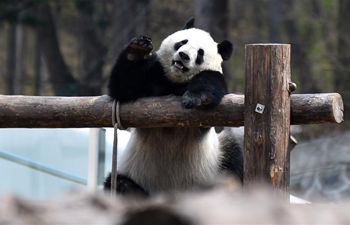 "People visit giant pandas ""Chu Xin"" and ""Mu Yun"" in Changchun, Jilin"
