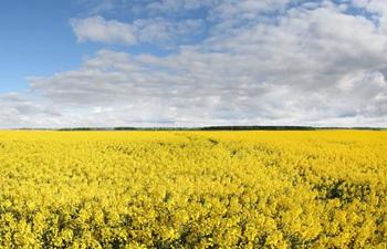 View of cole flower field in Minsk