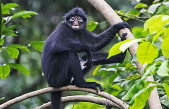 In pics: Raffles' banded langur in Singapore's Central Catchment Nature Reserve