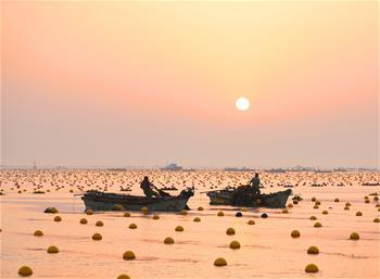 Kelp enters harvest season in Rongcheng, E China