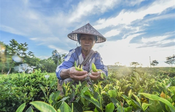 Tea cooperative helps households shake off poverty in Hainan