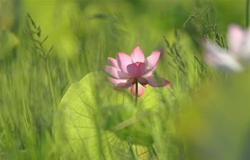 In pics: lotus flowers across China
