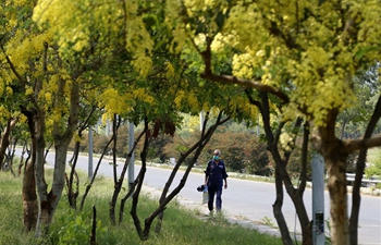 View of blooming cassia fistula trees in Islamabad, Pakistan