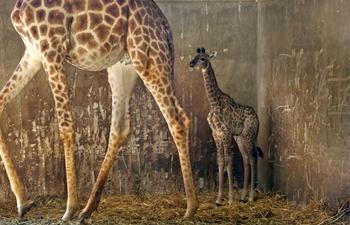 Two-week-old female baby giraffe seen at Biblical Zoo in Jerusalem