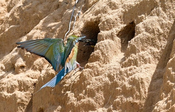 In pics: blue-tailed bee-eaters in lower reaches of Wuyuan River
