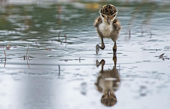 In pics: wild masked lapwing chicks at Singapore's Gardens by the Bay East