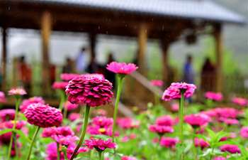 Zinnia flowers in full bloom in Henan