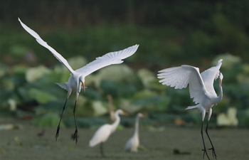 Egrets seen on wetland in Maba Township in Jiangsu