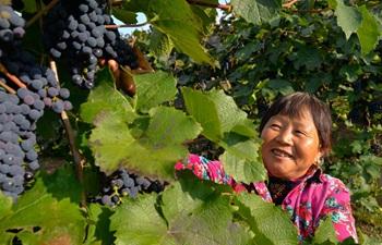 Grape industry developed in China's Inner Mongolia