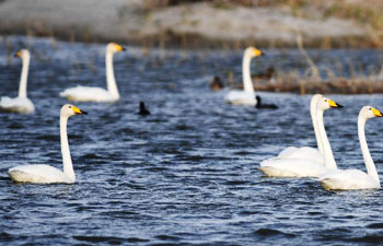 Number of migrant birds increases in Ulungur Lake National Wetland Park