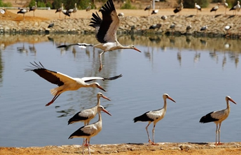 Flock of white storks seen at bird park in Egypt