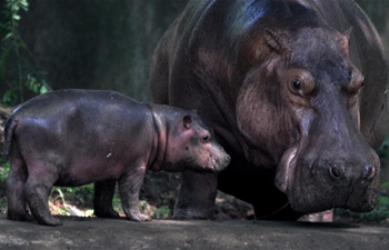 Hippopotamus pictured with 19-day-old cub in India's Botanical Garden