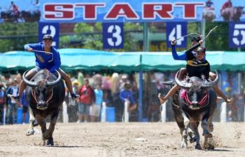Buffalo racing held in Chonburi, Thailand