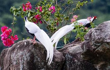 Silver pheasants seen in Exiandong nature reserve in China's Fujian