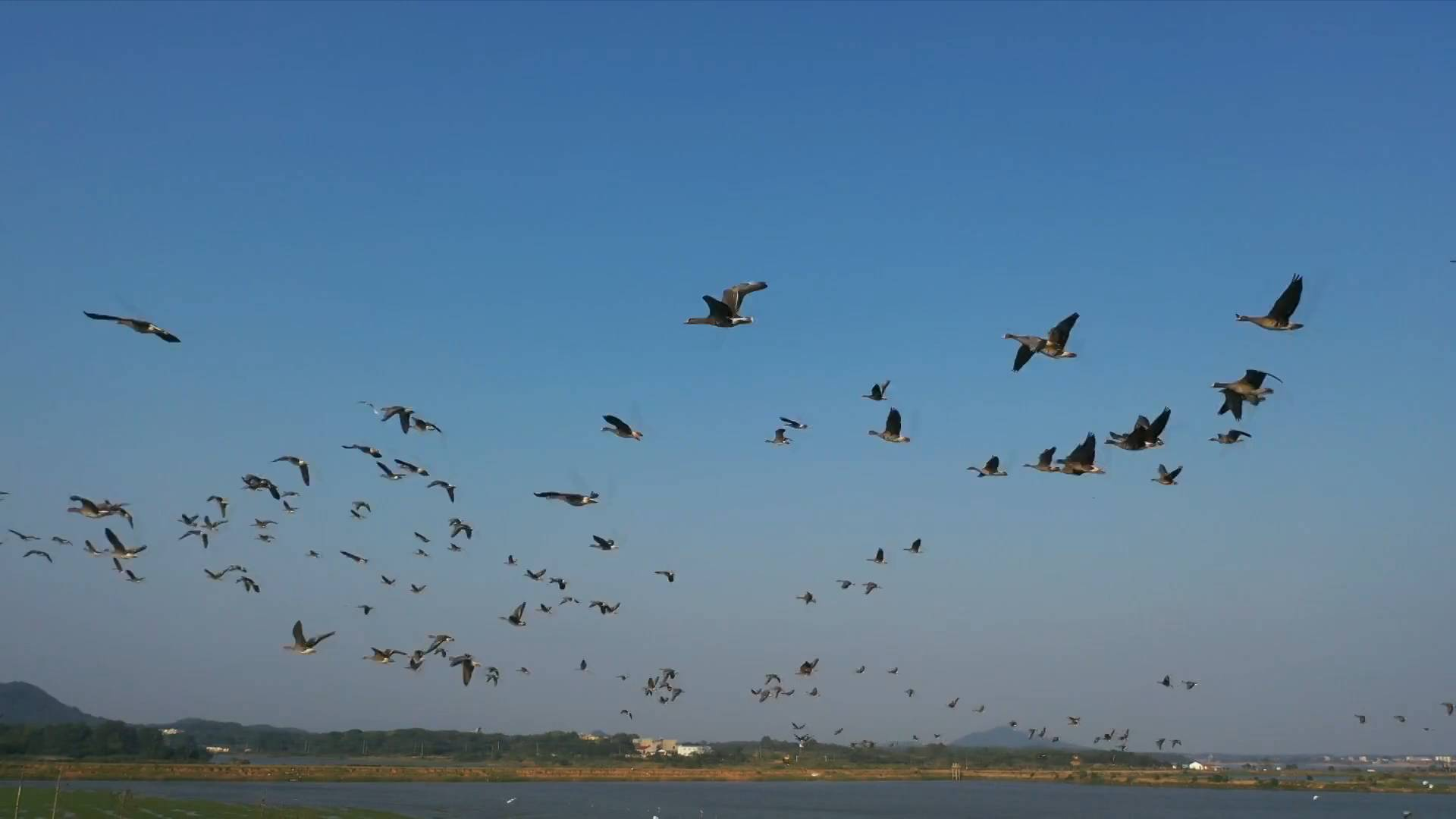 China's largest freshwater lake sees early arrival of wintering birds
