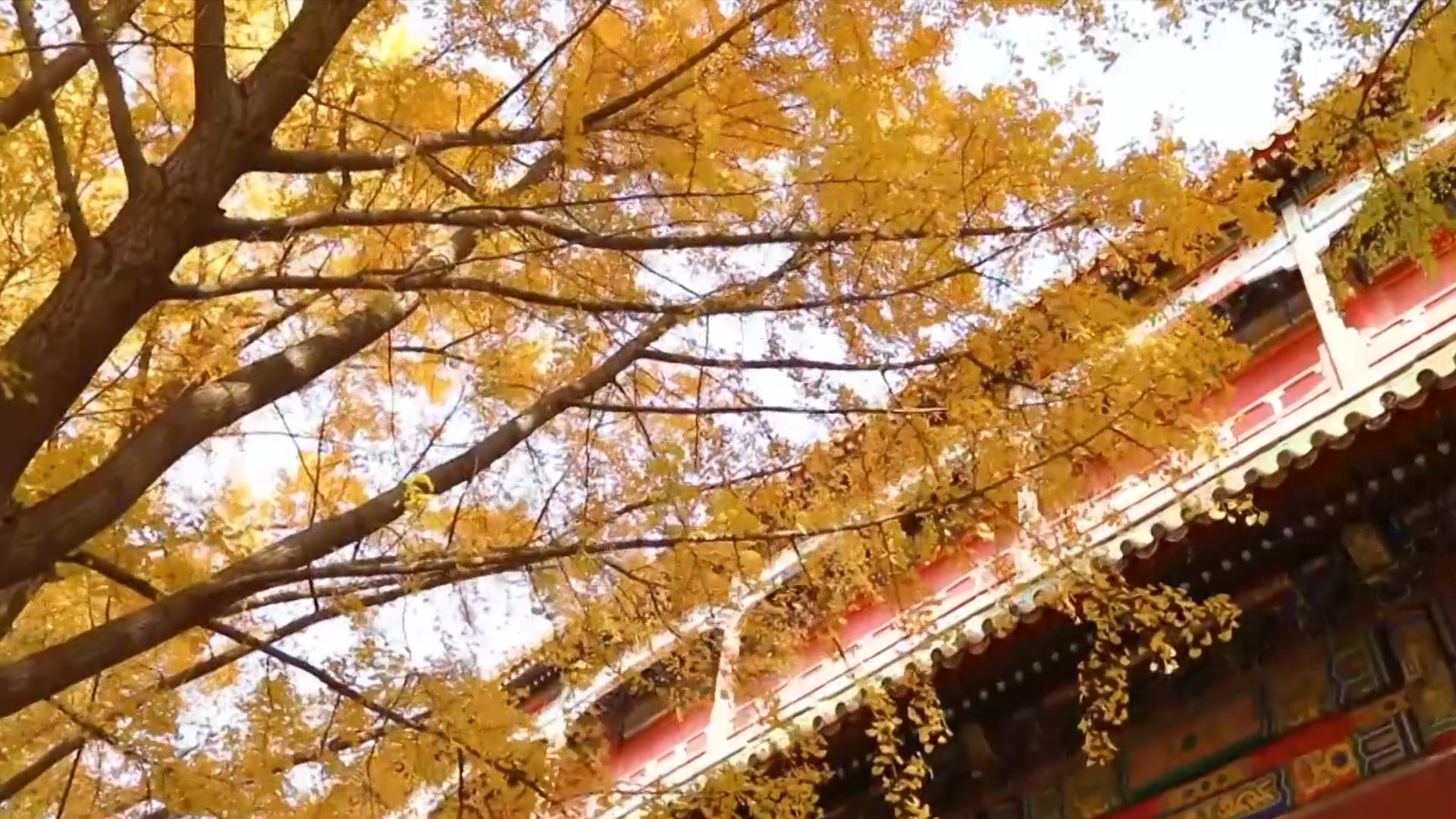 Embrace golden autumn in 600-year-old Forbidden City
