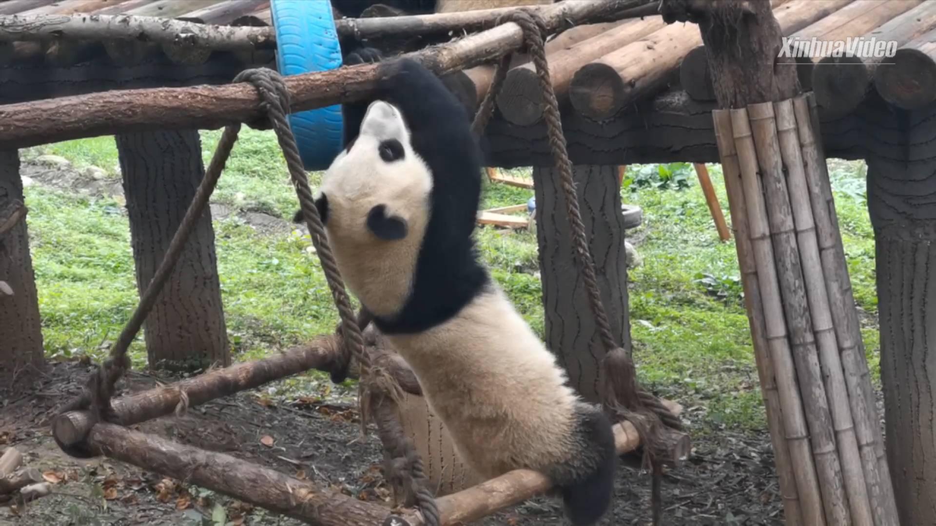 Giant panda: I'm a good horizontal bar player