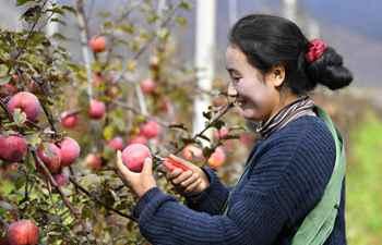 Fruit planting bases in Tibet enter harvest season for apples