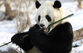 Giant pandas seen at snow-covered Xining Panda House in Qinghai